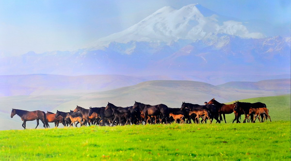 Табун Карачаевских лошадей на плоскогорье