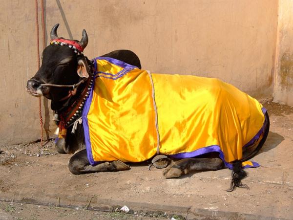 Корова в праздничном одеянии