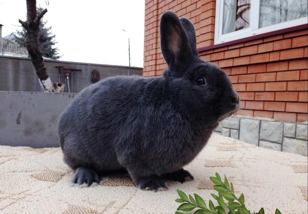 Венский кролик крупным планом