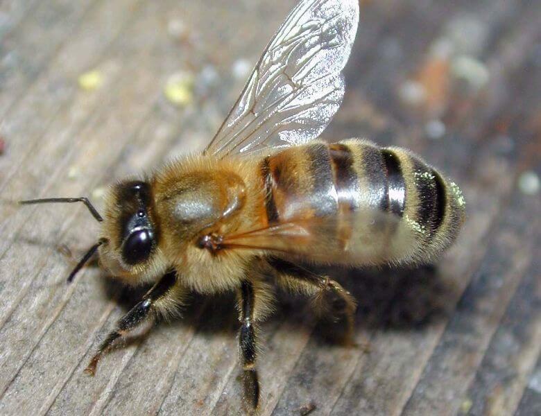 Карпатская пчела крупным планом