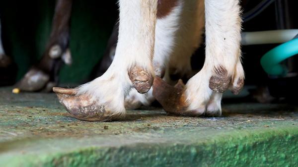 Болезнь кролика, козы, охота у свиней: ответы специалиста на вопросы читателей