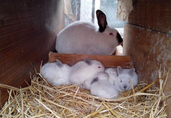 Крольчиха сидит в клетке с крольчатами
