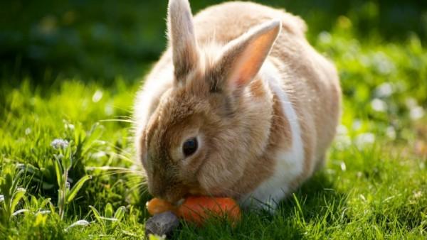 Кролик грызет морковку