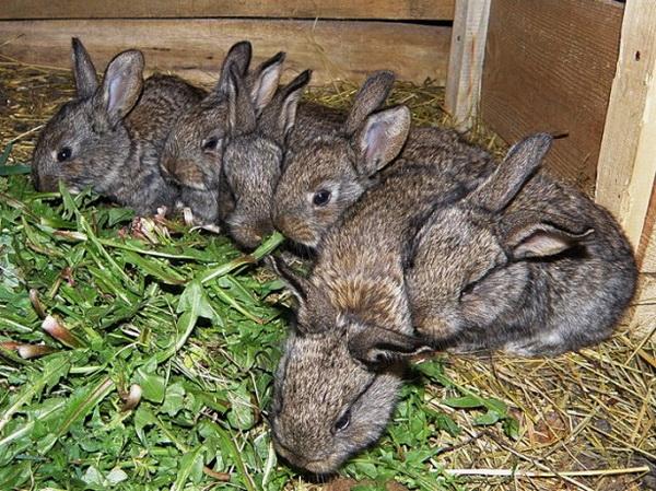 Крольчата в клетке едят зелень