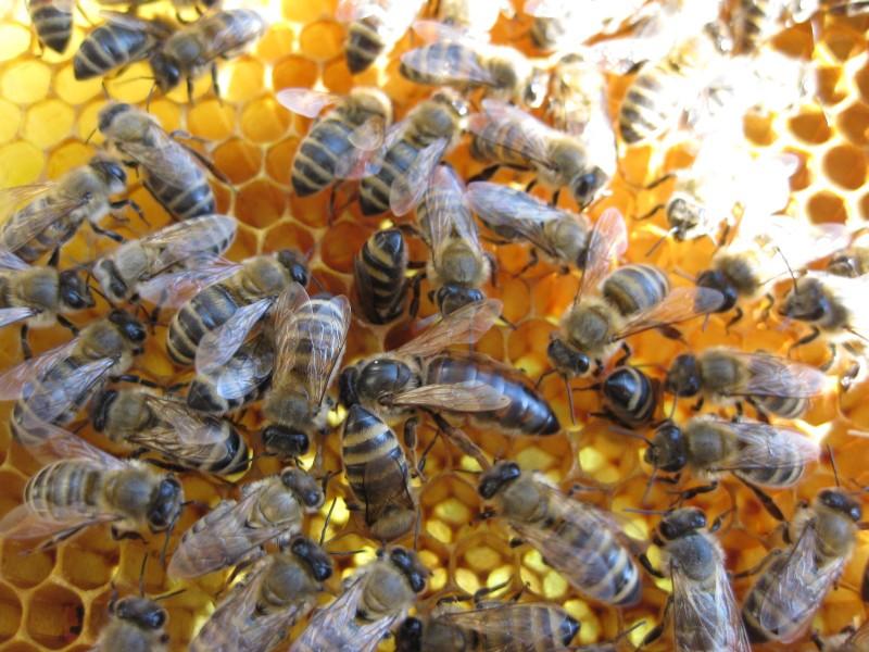 Пчелы Карпатки на сотах