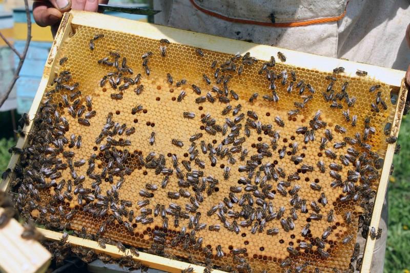 Рамка с пчелами и сотами с медом