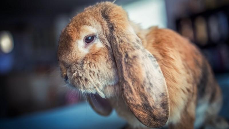 Вялое состояние кролика
