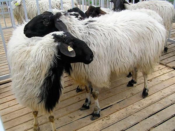Обзор пород овец мясного направления: Гисарские, Калмыцкая, Дорпер и другие