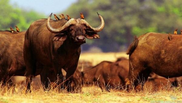 Группа буйволов на пастбище