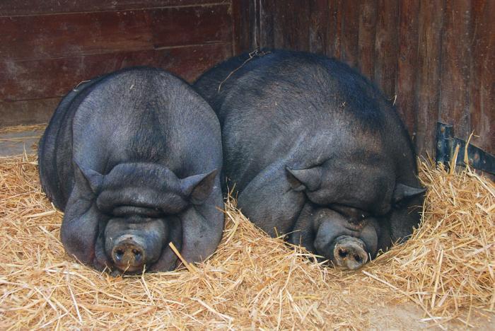 Две свинки спят в сене