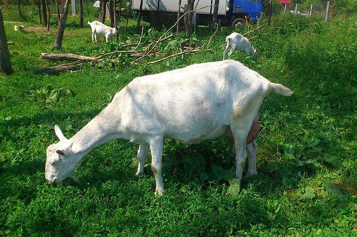 Горьковские молочные козы на выпаске