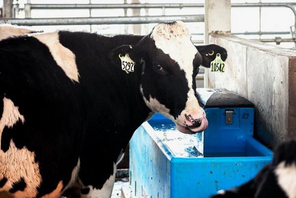 Корова возле удобной поилки