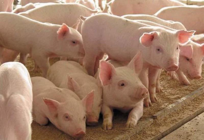 Молодняк на свиноферме