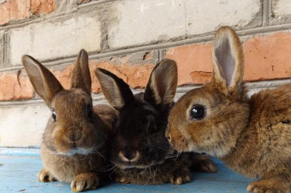 Ответы специалиста: почему крольчиха ест крольчат и какая доза комплексной прививки
