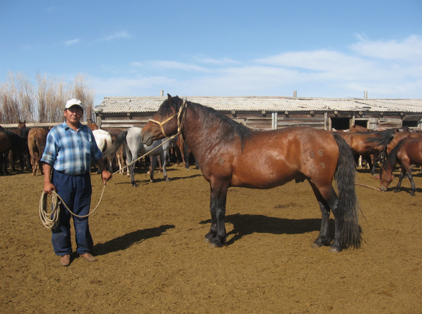 Табун Мугалжарских коней в загоне