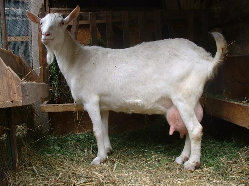 Русская белая коза в вольере