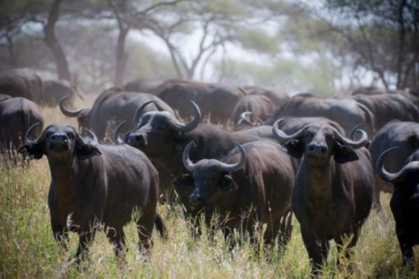 Африканское стадо в саване