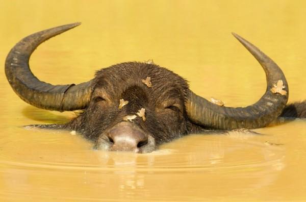 Водяной буйвол купается в реке