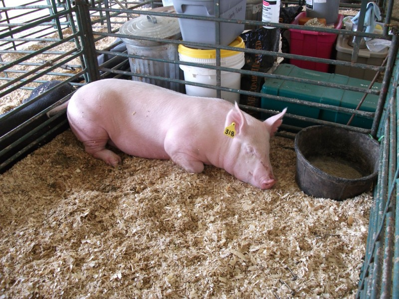 Свинка спит в вольере