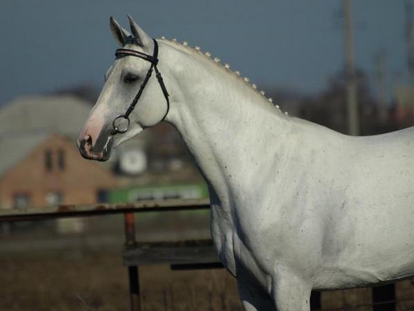 Терская серая лошадь крупным планом