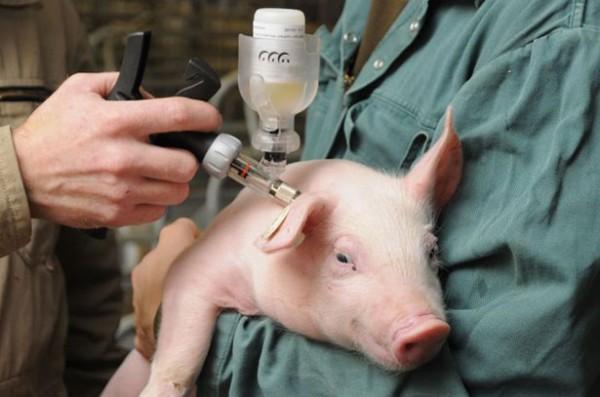 Проведение вакцинации поросенку