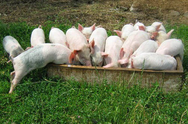 Что делать, если свиноматка отказалась кормить поросят: ответ специалиста