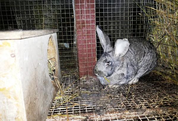 Серая крольчиха в клетке