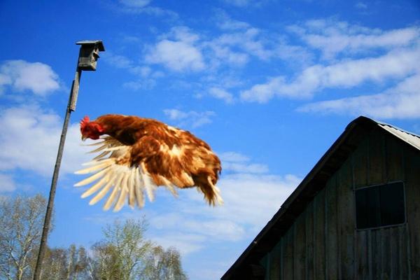 Летящая курица крупным планом