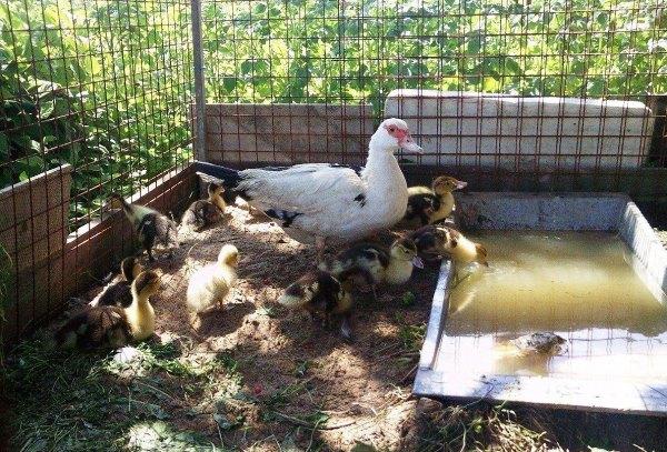 Мускусная утка с утятами возле ванночки