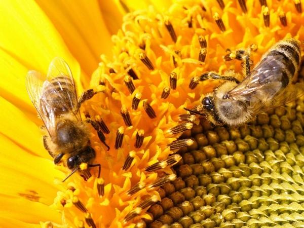 Пчелы собирают нектар с подсолнуха