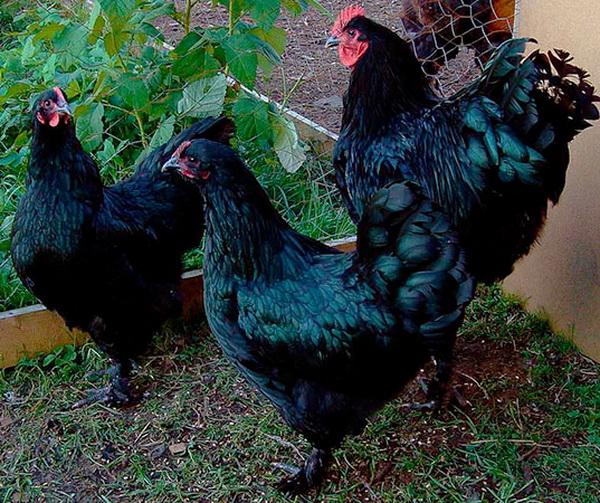 Черные куры лангшан