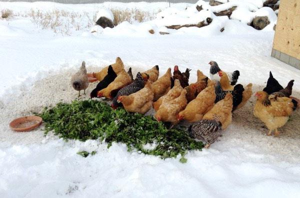 Зеленая подкормка зимой