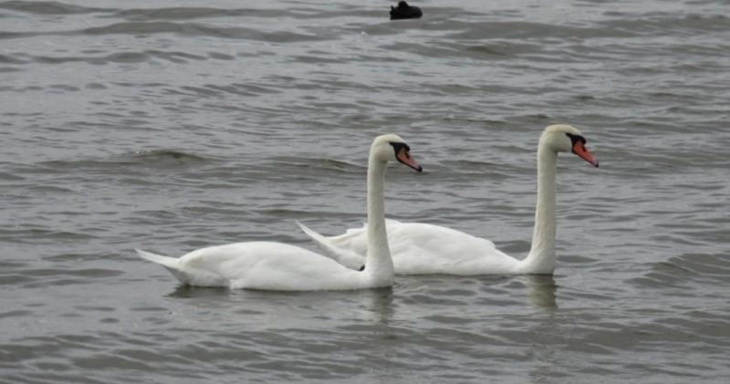 Лебеди Евпатории