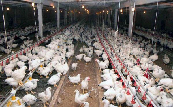 Адлерские куры на птицефабрике