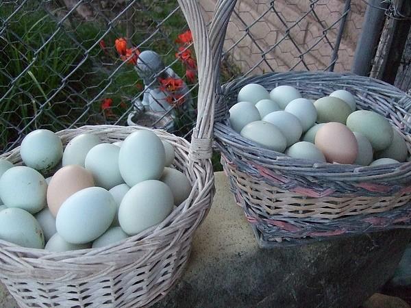 Корзина яиц араукана и с одним обычным яйцом