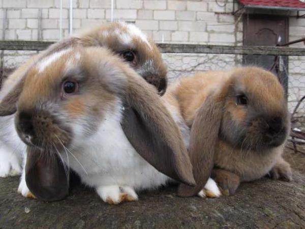 Крольчата французский баран