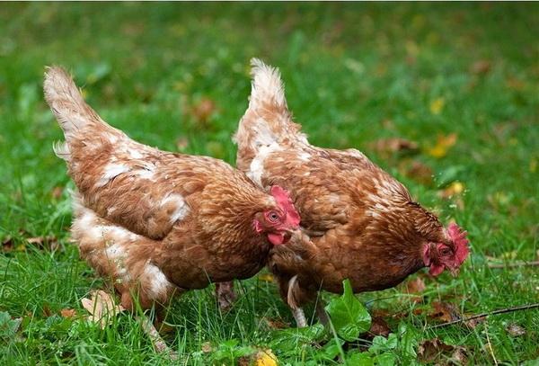 ТОП-10 известных яичных пород кур: Брекель, Ла флеш, Иза браун и другие