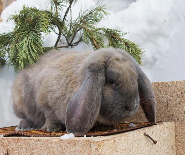 Крольчиха французский баран