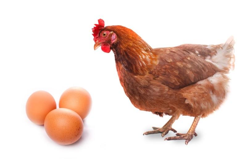 Курица и яйца на белом фоне