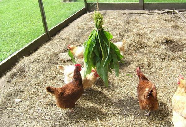 Куры едят листья с огорода