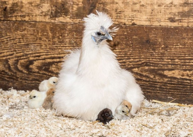 Наседка со своими цыплятами