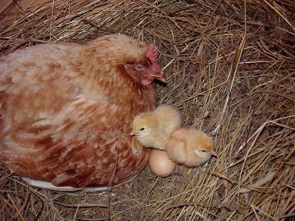 Наседка в гнезде с цыплятами