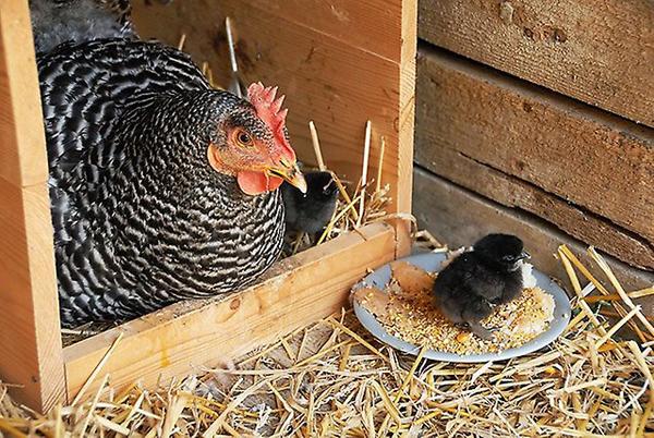 Несушка доминант со своим цыпленком