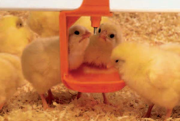 Цыплята пьют из ниппеля