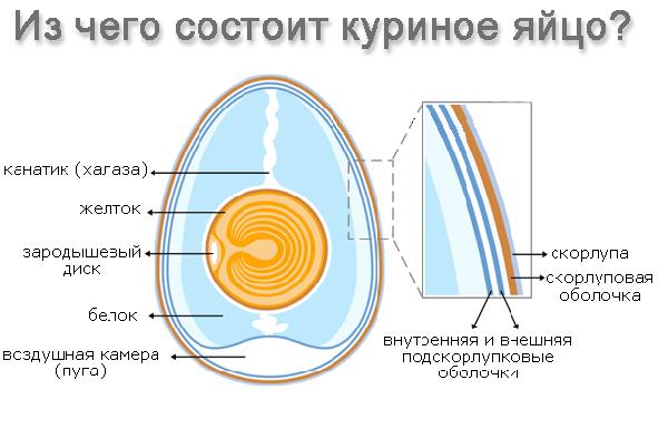 Схема, показывающая из чего состоит куриное яйцо