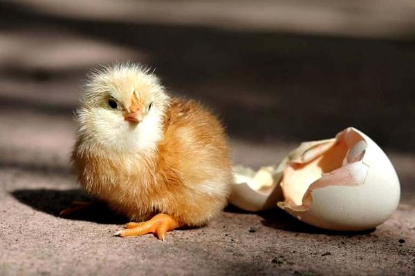 Вылупившийся цыпленок крупным планом