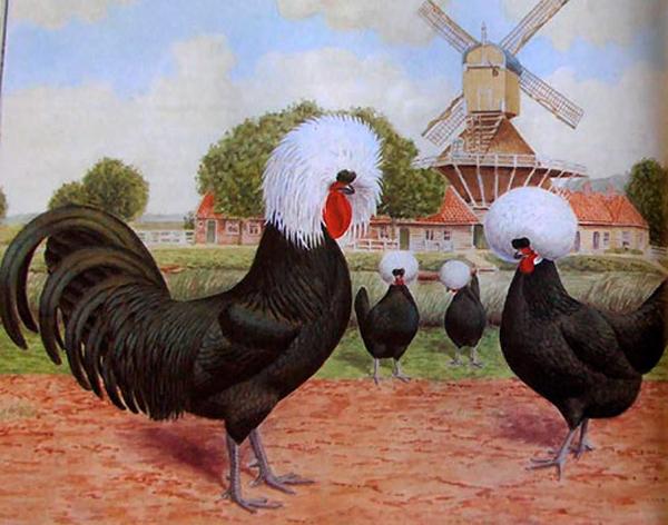 Голландские белохохлые куры на картине
