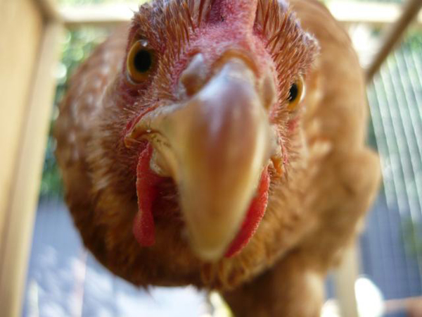 Любопытная курица породы шейвер