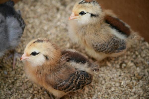 Два маленьких птенца амераукана