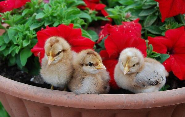 Цыплята билефельдер в горшочке